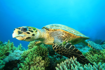 Hawksbill Sea Turtle in the Red Sea