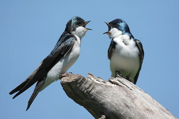 Fotoväggar - Pair of Tree Swallows on a stump