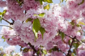 Fototapete - rosa Kirschblüten im Frühjahr
