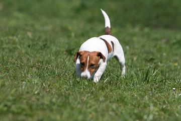 jack russel terrier adulte entier de face flairant une piste
