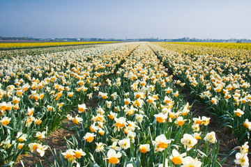 Field with white and orange daffodils