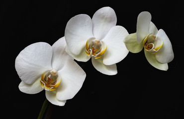 Three of kind of orchid flowers