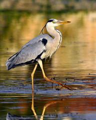 Airone - Heron