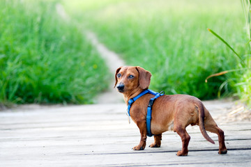 Dachshund looking back at camera
