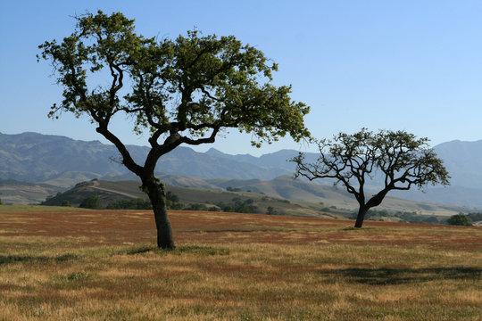 Central California Oak Trees - Solvang California