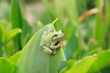 Frog_01
