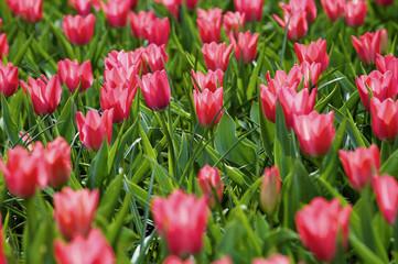 Aluminium Prints Tulip tulips