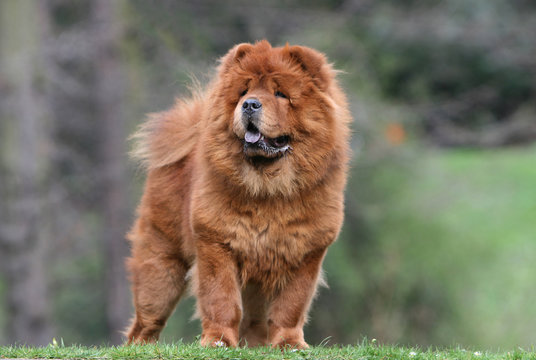 chow chow adulte vu de face en position immobile