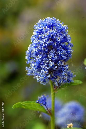 Fiori a grappolo blu immagini e fotografie royalty free for Fiori bianchi profumati a grappolo