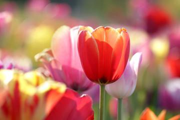 Photo sur Plexiglas Tulip tulpen