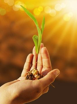 seme di mais con germoglio