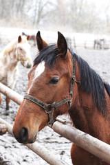 Bay horse in outdoor enclosure