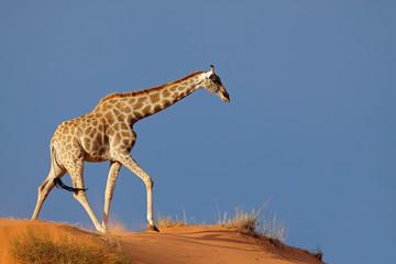 Poster Giraffe Giraffe on a sand dune, Kalahari desert, South Africa