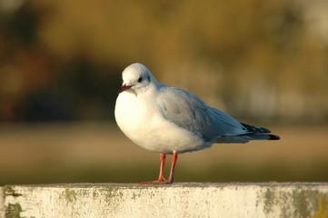 Seagull Greenwich Park