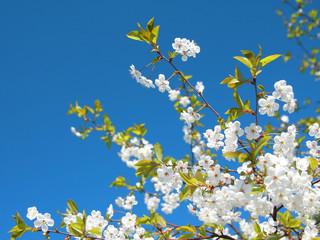 Blossoms on blue sky