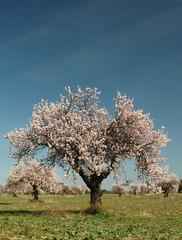 arbres en fleur