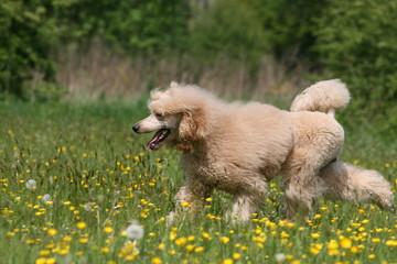 le grand caniche adulte en train de courrir dans un champ