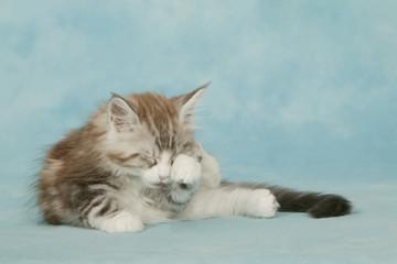 chaton maine coon se frottant les yeux avec la patte