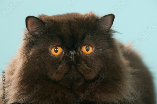portrait de chat persan noir aux yeux orange myst re photo libre de droits sur la banque d. Black Bedroom Furniture Sets. Home Design Ideas