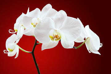 Orchid against red