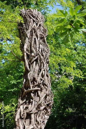 Lierre sec autour d 39 un arbre photo libre de droits sur for Bordure autour d un arbre