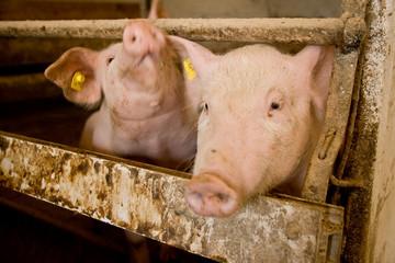 Schweinchen im Doppelpack