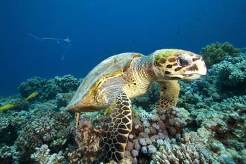 Hawksbill Turtle (Eretmochelys imbricata) feeding on coral