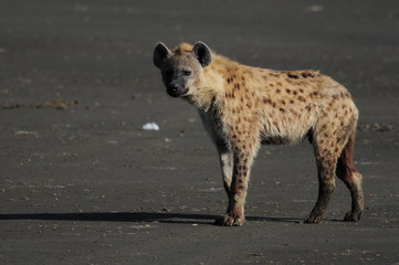 Acrylic Prints Hyena The Spotted Hyena (crocuta crocuta), lake Nakuru, Kenya