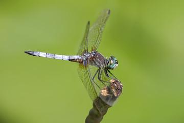 Fotoväggar - Blue Dasher Dragonfly on a stick