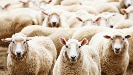 Fond de hotte en verre imprimé Sheep Herd of sheep