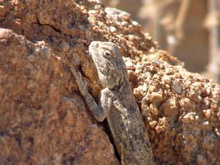 tropische echse in der trockensteppe namibias