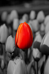 Wall Murals Red, black, white Red Tulip