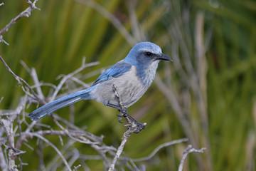 Fotoväggar - Endangered Florida Scrub-Jay
