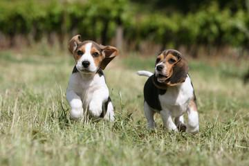 deux jolis chiots beagle courant de face dans la campagne