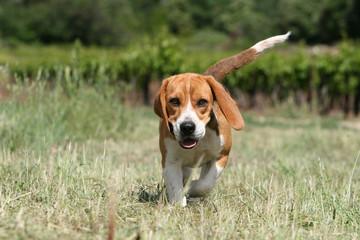 chiot beagle bicolore avançant l'air décidé de face