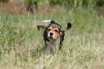 rigolo petit beagle les oreilles décollées face au vent
