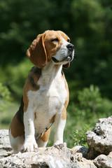 joli jeune beagle surveillant attentivement l'horizon