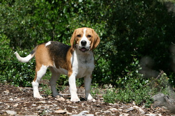 gentil petit beagle immobile nous regardant