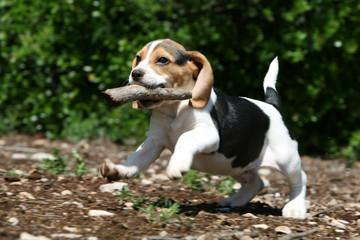 joli petit beagle sautillant et jouant avec un bâton
