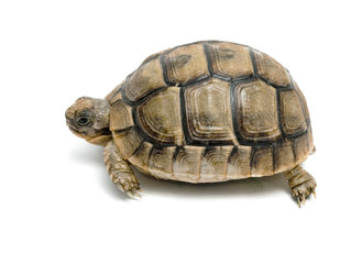 Close up of greek tortoise