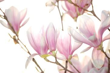 Magnolien in weiß