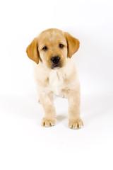 cute Puppy Labrador retriever cream standing on white
