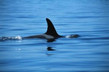 Dorsal fin of killer whale