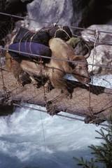 Laden ox crossing a river on a wooden bridge