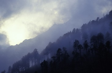 Lines of fir trees on mountainside in fog