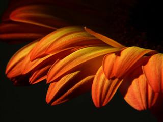 Blütenblätter I