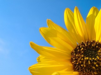 Sunflower with Copy Space