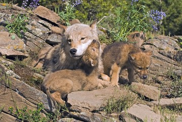 Wolf cubs and mother at den site