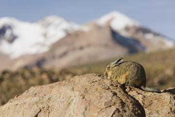 Chinchilla on rocks
