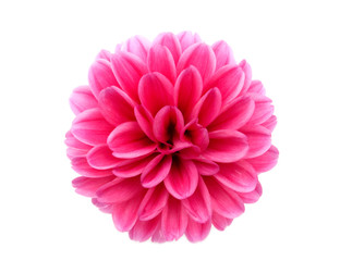 flowering dahlia on white background